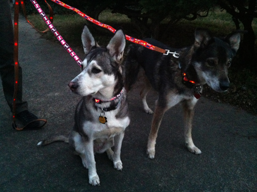 Mingus & Dottie Try It: Dog-E-Glow LED Leashes and Collars