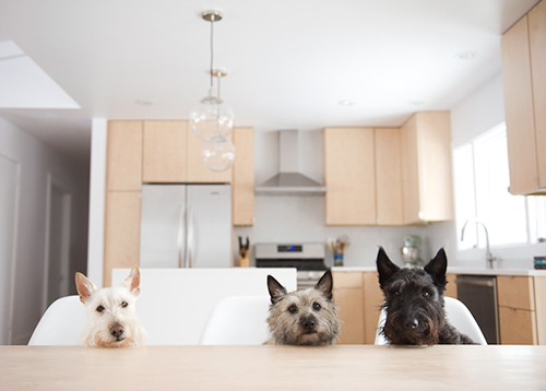 Spotted: Three Little Terriers -- and a Modern Kitchen Makeover