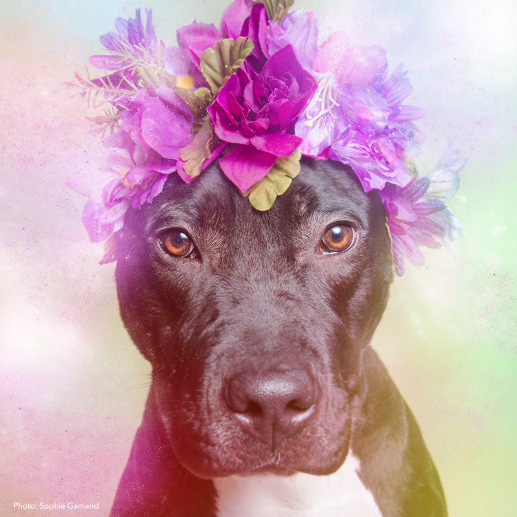 Flower Power: Pit Bulls of the Revolution Photo Series by Sophie Gamand