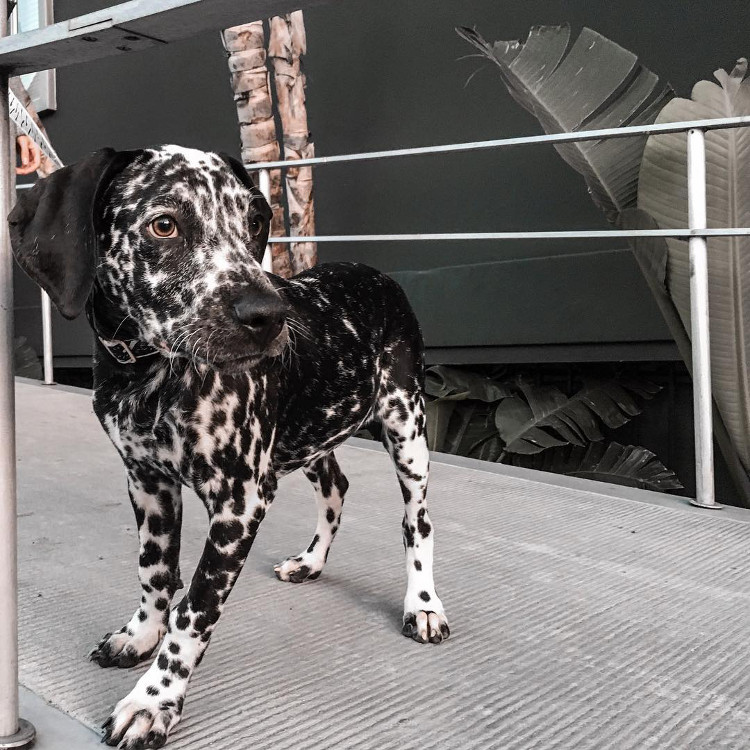 Instagram Love: Ms Stella the Dalmatian