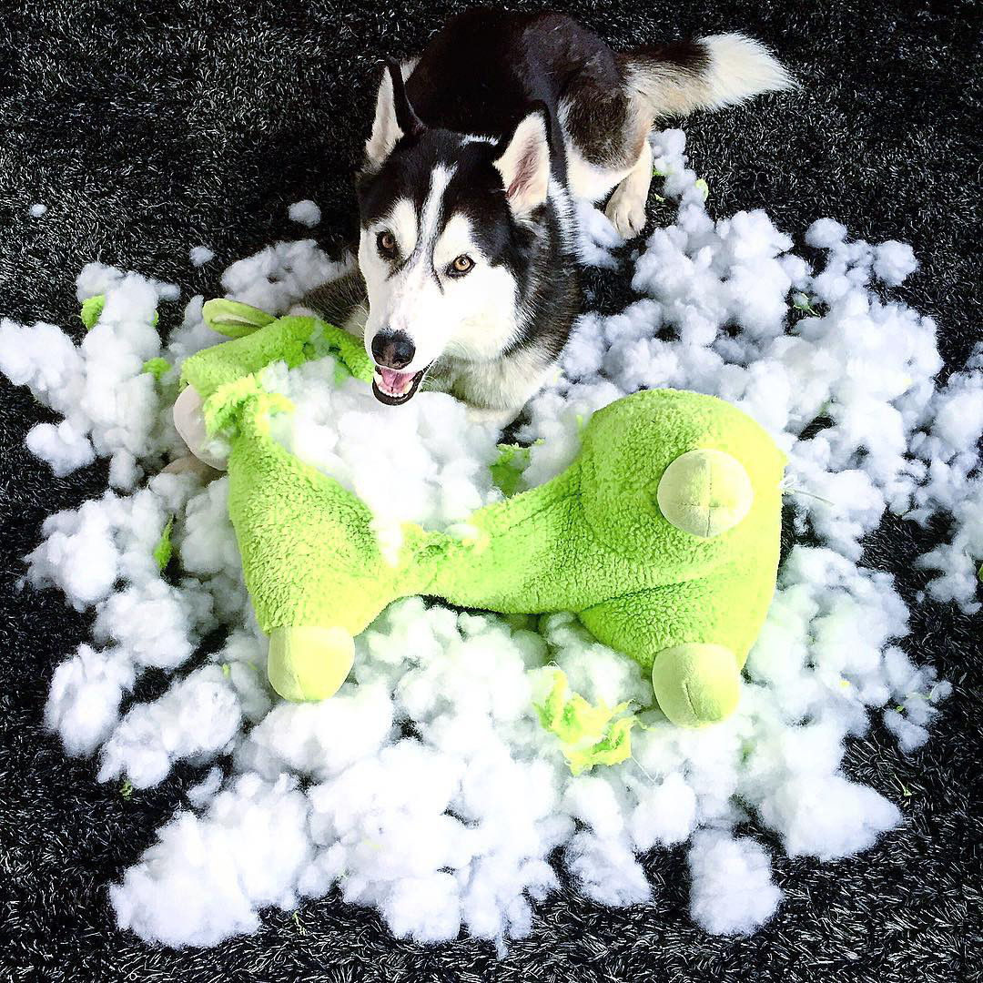 Instagram Crush: Bandit the Husky