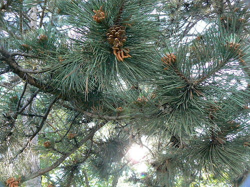 Pine Tree by ~Sage~ on Flickr