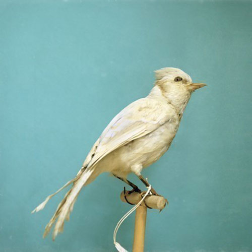 albino-blue-jay
