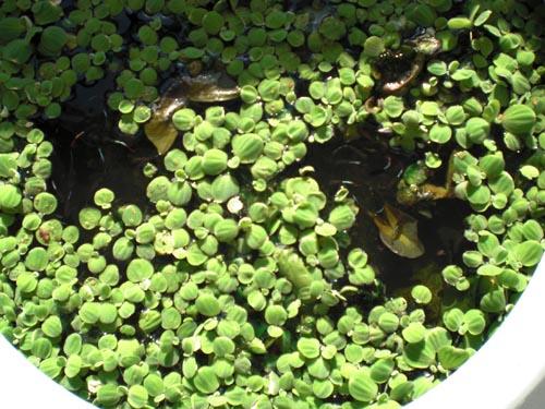 vw-water-lilies