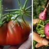 black-seaman-plum-radish