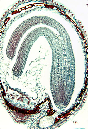 plant cells, botanical society of america