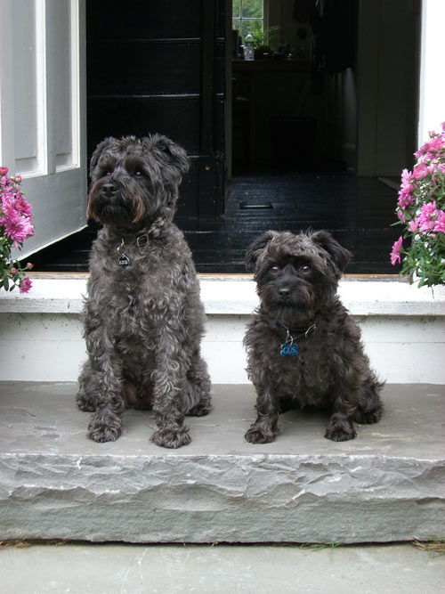 Labradoodles, Doodles and Idaho on Pinterest