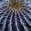 Purple_Cactus