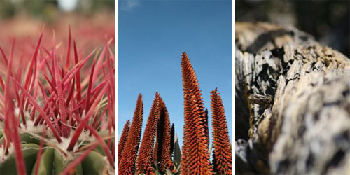 red-spines-bloom-spikes-juniper