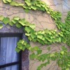 Leaf-it-appree-ivy-2