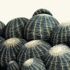 Cactus-Galante-4