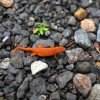 dailies-built-2a-salamander