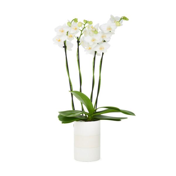 porcelain pot orchid