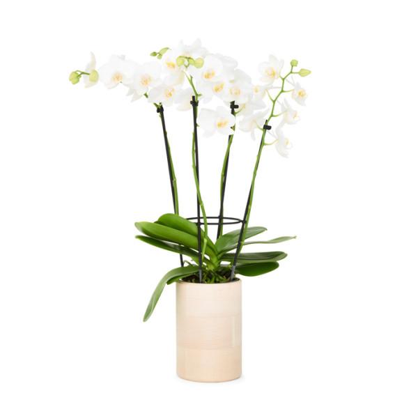 wood pot orchid