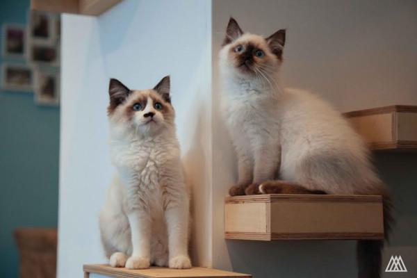 Maison de Moggy: Scotland's First Cat Cafe