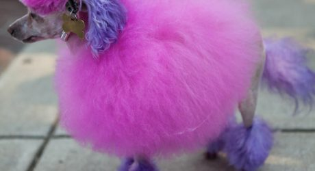 Bark Out Loud: Dyeing a Dog's Fur