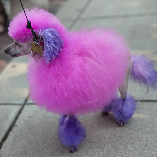 dyed_dog_pink_poodle_01