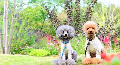 Instagram Love: Maron & Fleur the Toy Poodles