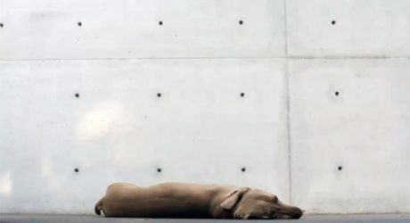 Spotted: Architecture and Weimaraners