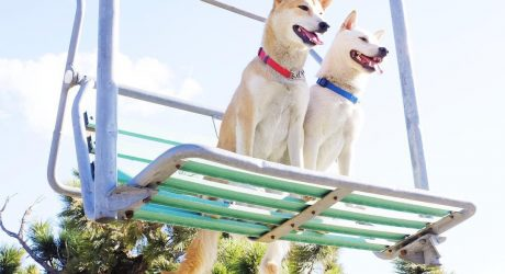 Instagram Love: Dareochu, Two Shibas in L.A.
