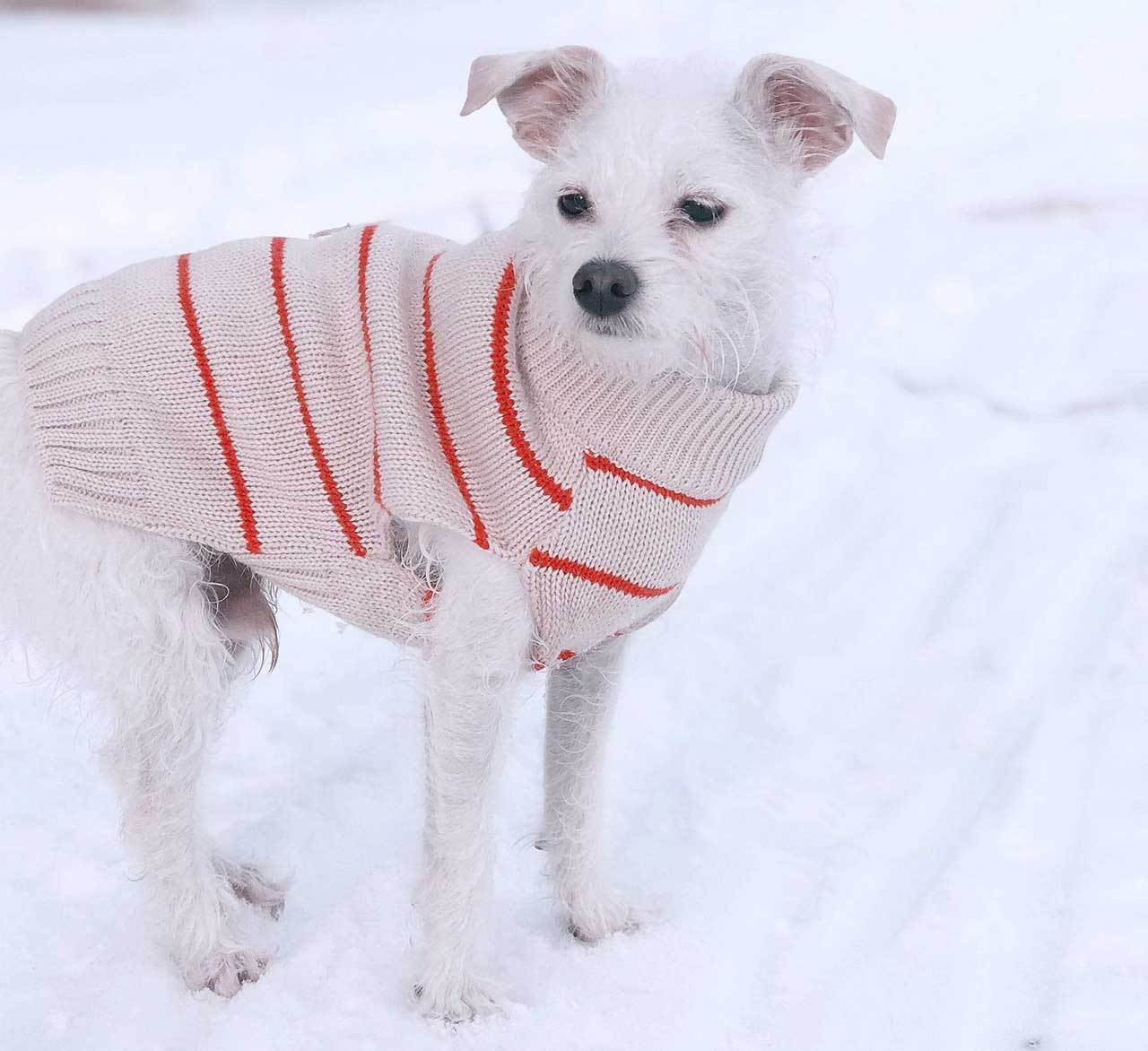 Little dog in Dog Threads sweater