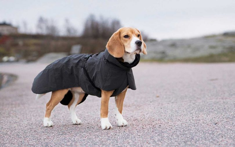 Dog wearing PAIKKA Visibility Raincoat