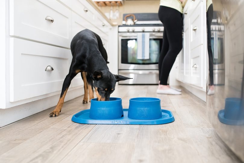 Doberman eating from blue bowls and blue mat in kitchen