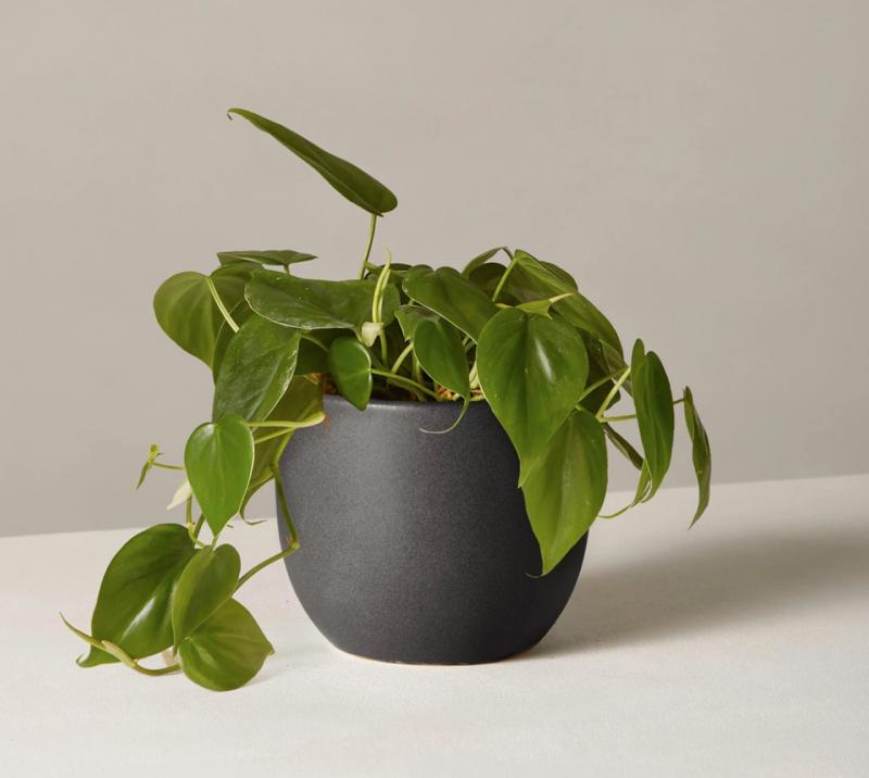 philodendron plant in a matte black planter