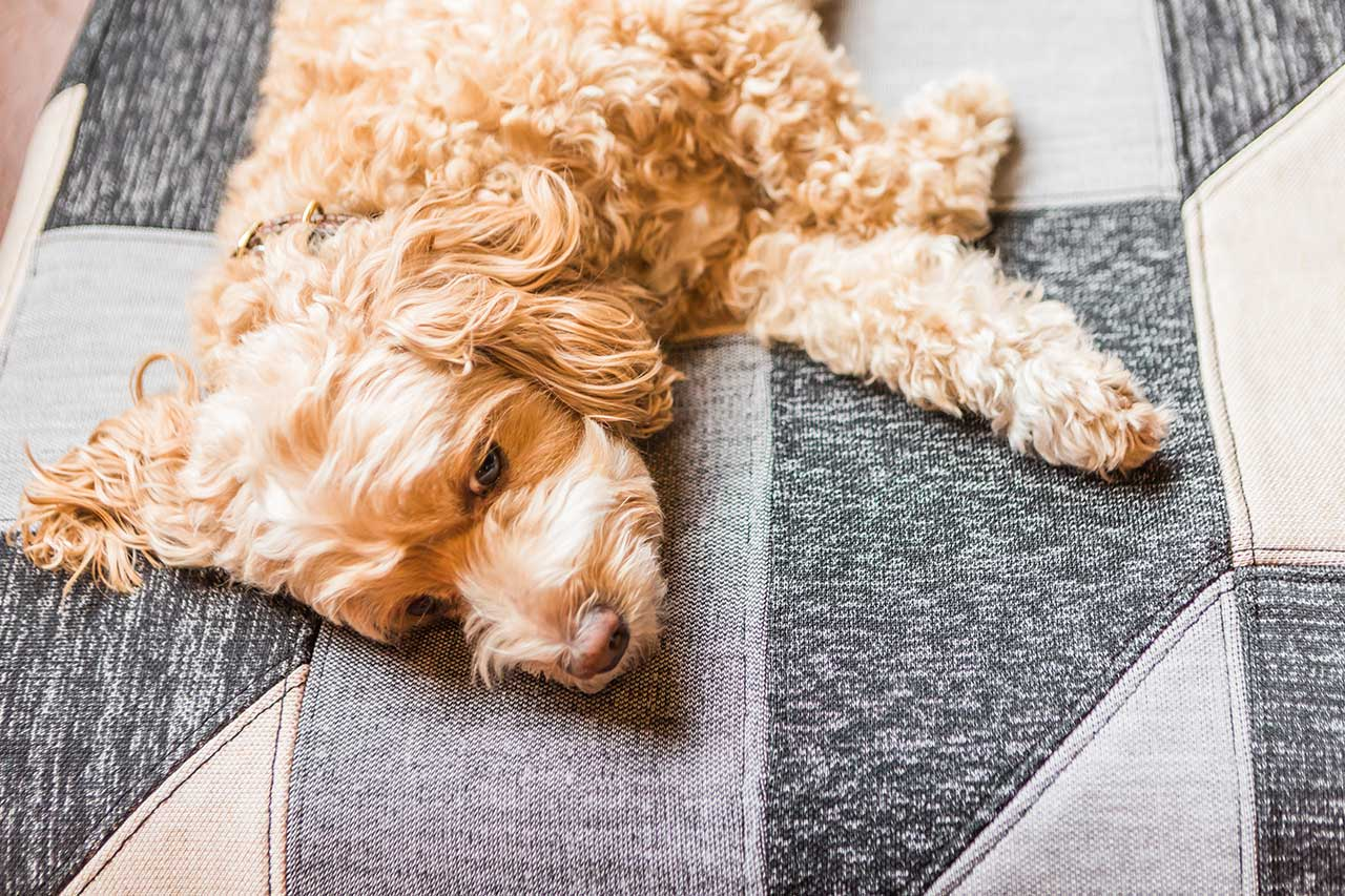 closeup of dog on a dog bed