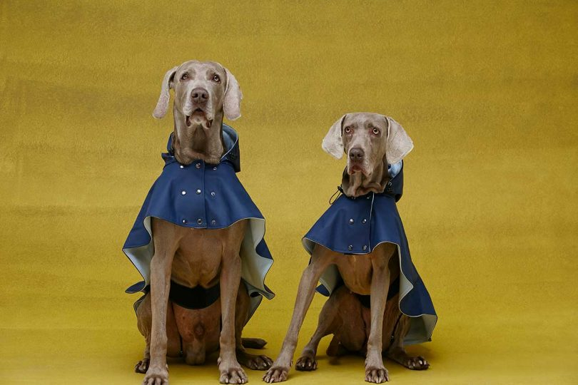 two dogs in blue raincoats