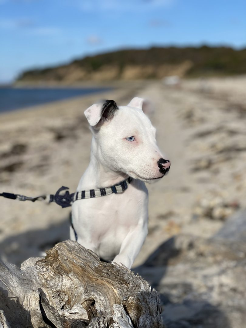white puppy wearing a leash on the beach